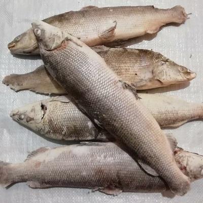 Seafood - доставка морепродуктов, морских деликатесов и рыбы в Обнинске, Москве: Муксун свежемороженный (1.3 - 1.5 кг)