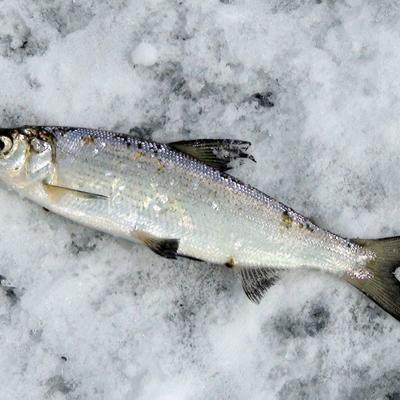 Seafood - доставка морепродуктов, морских деликатесов и рыбы в Обнинске, Москве: Пелядь свежемороженная (1+ кг)